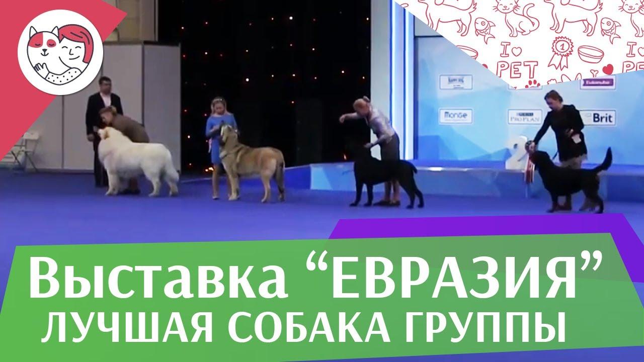 Лучшая собака 2 группы по классификации FCI 19 03 17 на Евразии ilikepet