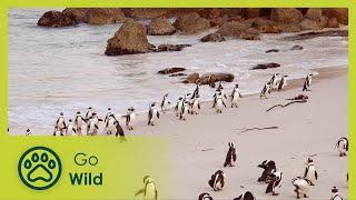 Penguins - Africa's Wild Wonders - The Secrets of Nature