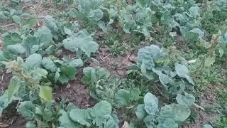 ПОЛЯРІС озимий ріпак, відмінний врожай 32-37 ц/га, зимостійкий. СтІйкий до раунпаду 3л/га ріпак Поляріс РС. от компании ТД «АВС СТАНДАРТ УКРАЇНА» - видео 1