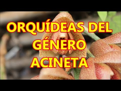 Orquideas del género Acineta.Orchids of the genus Acineta. Multilingual subtitled.