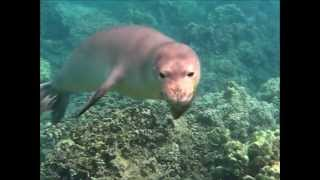 preview picture of video 'Hawaiian Monk Seal Swims with us:  Kahoolawe Girl Visiting Maui'