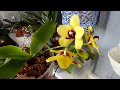 Пересаживаем две цветущие орхидеи.