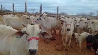Bovino Corte Nelore Vaca 20+@ - e-rural Imagens