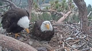 Big Bear Eagle Cam - SO FUNNY !- SHADOW COVERS BABES IN FLUFF !  - 4/29/19