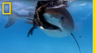Tiger Shark vs. Albatross | National Geographic thumbnail
