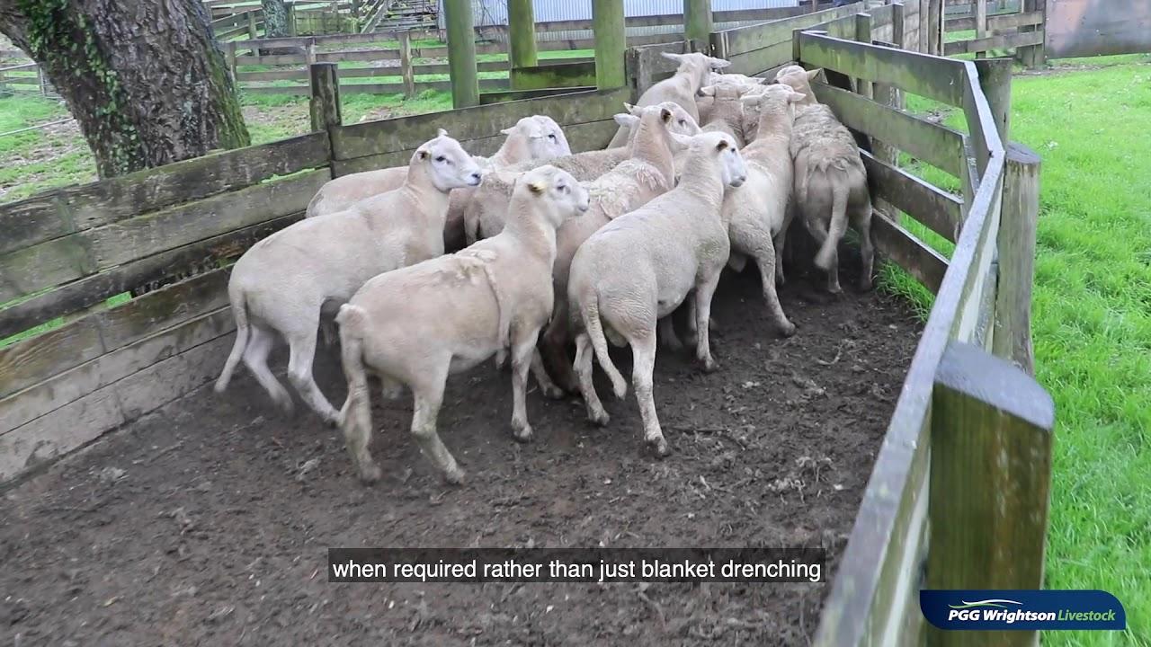Livestock Market Update: King Country Self-Shedding Ram Sales 2020