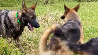 Copy of AMAZING  German Shepherd Pack Running Free SLO MO