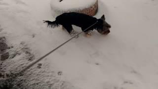 Собака Челси ест и гуляет 2017 год