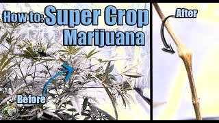 Super Cropping Marijuana Quick & Easy