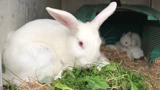 New Zealand Rabbit Feeding 10days Old Baby Rabbits And Being Fed