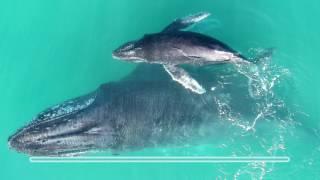 Hvaler hvisker til hinanden for at undgå rovdyr