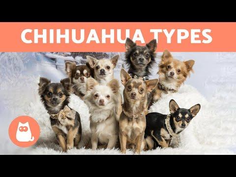 Chihuahua féregkezelés