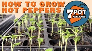 How to grow hot peppers from seed - 7 Pot Club