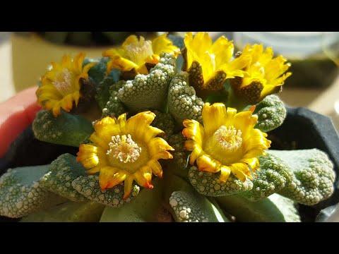 Приятная неожиданность, мой бриллиантик Титанопсис! ;)   #Titanopsis Calcarea