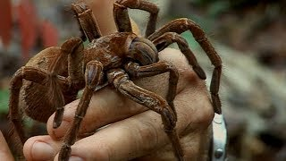 Holding a Wild Goliath Tarantula | Deadly 60 | Earth Unplugged