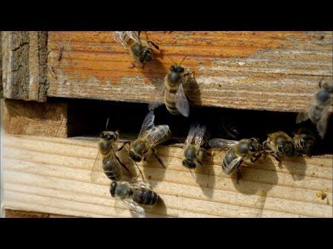 Natřásavý tanec včel