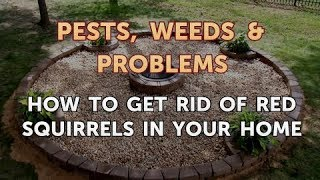 How to Get Rid of Red Squirrels in Your Home