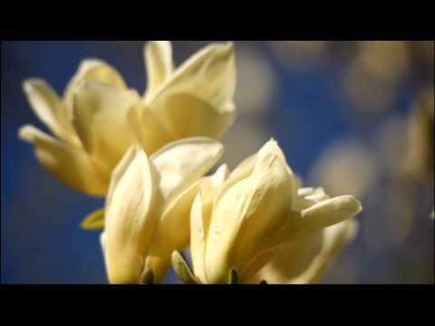 Spectacular and Rare: Yellow Magnolia