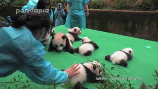 Panda cubs' first public debut in year 2017