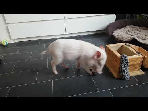 Pedantic Piggy Picks Up After Himself
