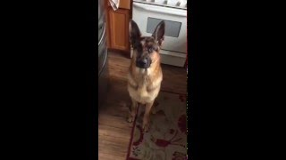 German Shepherd Is Hungry