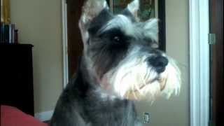 Chatting with Edie and Molly ( my German Shepherd and Mini Schnauzer )