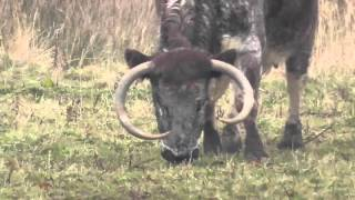 UK Longhorn Cattle at RSPB Middleton Lakes