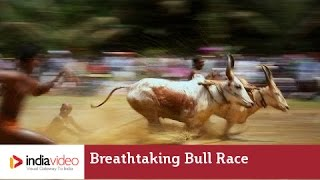 Breathtaking Bull Race at Kakkoor - Kerala Village Life Videos