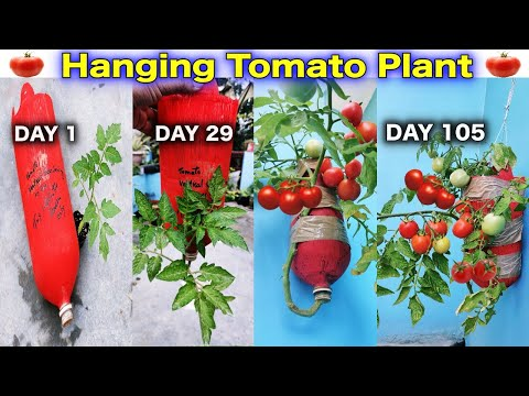 , title : 'Very New Method To Grow Tomato Plant in Hanging Bottle || Balcony Gardening || Hanging Tomato Plant'