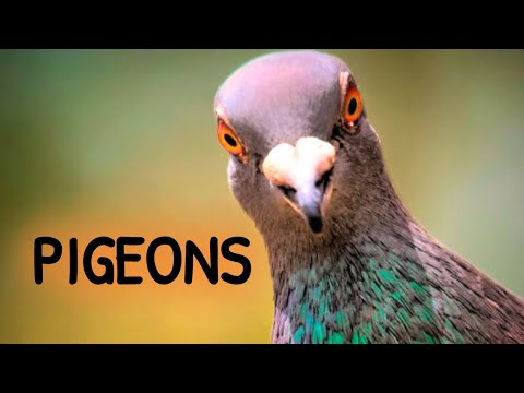 , title : 'Urban Wildlife. Pigeons | Documentary | Science Channel