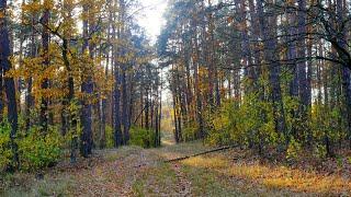 СКАЗКА РЯДОМ. КРАСИВАЯ ОСЕНЬ. Сосновый бор, лесные прогулки, осенние пейзажи, в лесу.