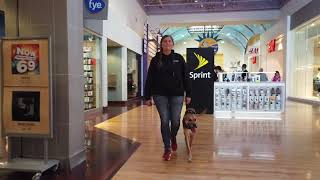 4yo Greyhound/Boxer Mix Jack
