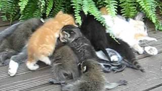 Мама для котят и енотят