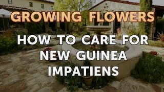 How to Care for New Guinea Impatiens