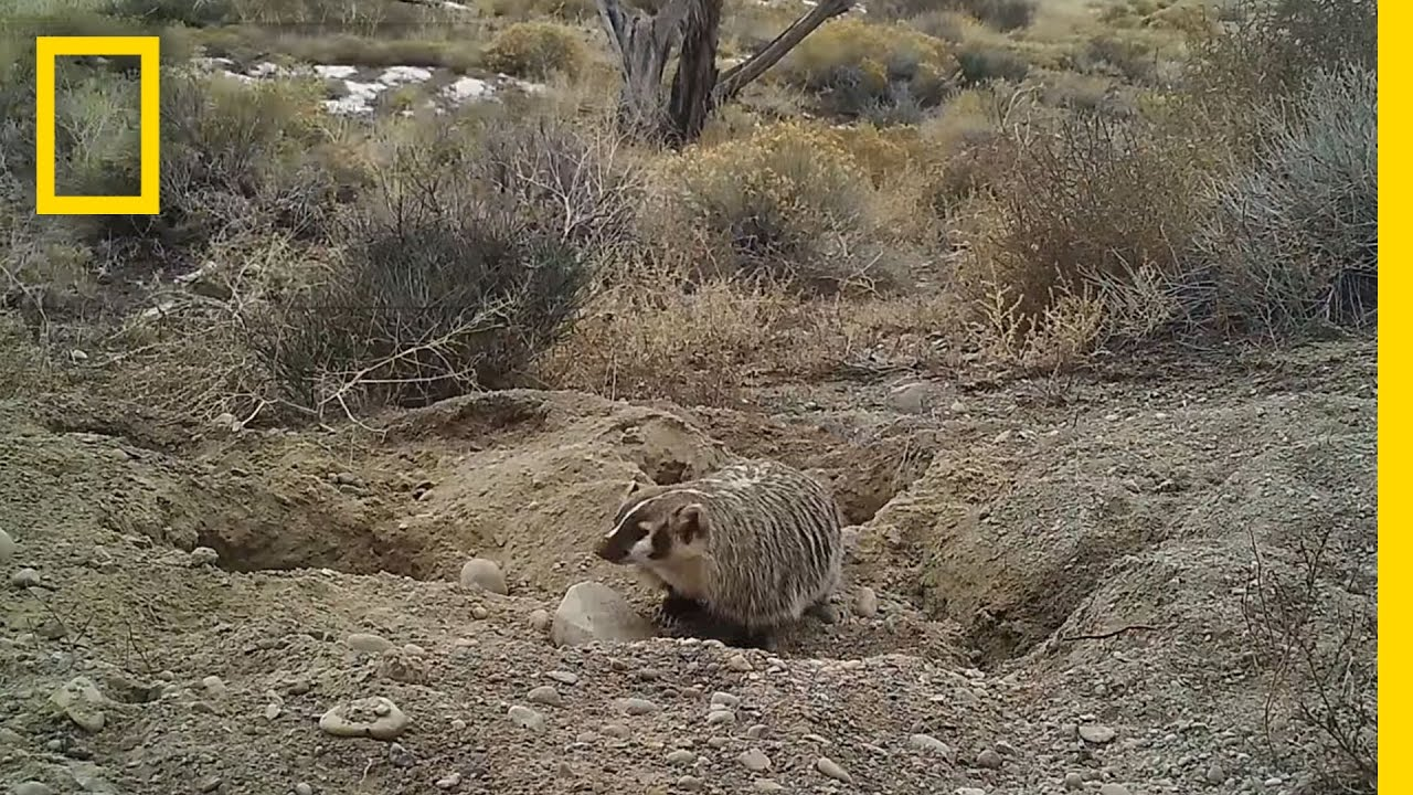 Watch a Badger Bury an Entire Cow (Never Before Seen) | National Geographic thumbnail