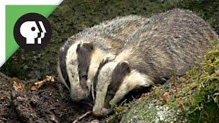 Female Badger Looks for Love | Nature on PBS