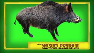 efeito sonoro de javali - Sound effect of wild boar