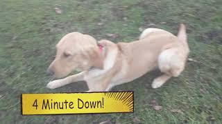 Finn, 7 Month Old Lab, Puppy Training!
