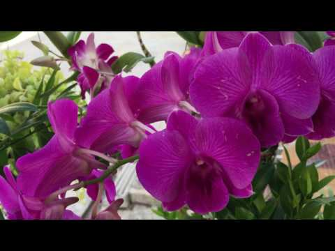 , title : 'Beautiful Red Orchid Royalty Plant at my homeland