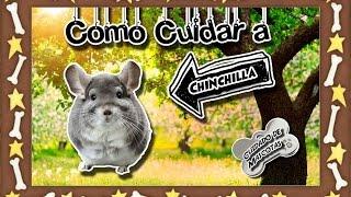 Chinchilla |Los Reodores Más Dociles E Inteligentes| (Roedores) |Cuidados De Mascotas|
