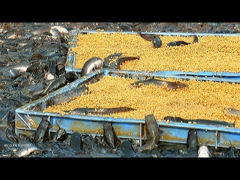 Grow Out Culture of Catfish Farm in Asia | Million Baby Catfish Eating Floating Feed in Cement Tank