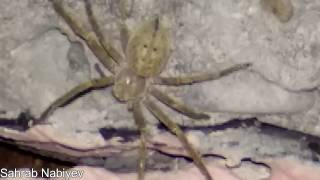 The Biggest Spider I have ever found-New species
