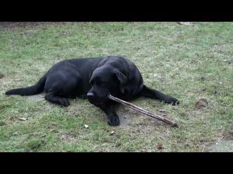 Labrador Henk mit Ochsenziemer