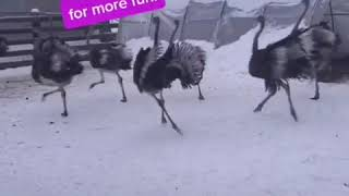 Happy Dance Ostrich Party! #shorts