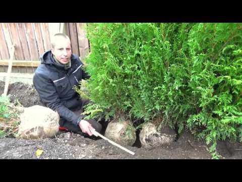 Hecke pflanzen | Thuja | Erster Heckenschnitt | TUTORIAL | HD
