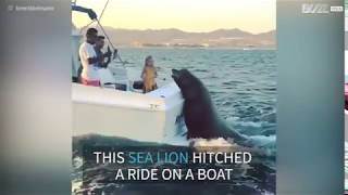 LOL - HUGE Sea Lion decides to Hitch a Free Ride on a Boat!