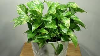 실내 초미세먼지를 제거하는데 탁월한 스킨답서스《Indoor Natural Air Purifying Plant For Removing Fine Dust - Scindapsus》