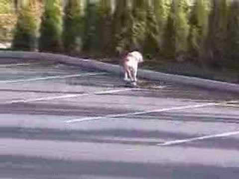 Cane che gira con uno skateboard, se non lo vedi non ci credi!