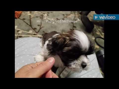 G6-03 McDoogal Male Lhasa Pup