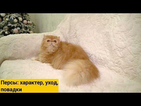 Персидская кошка - чем уникальна эта порода?